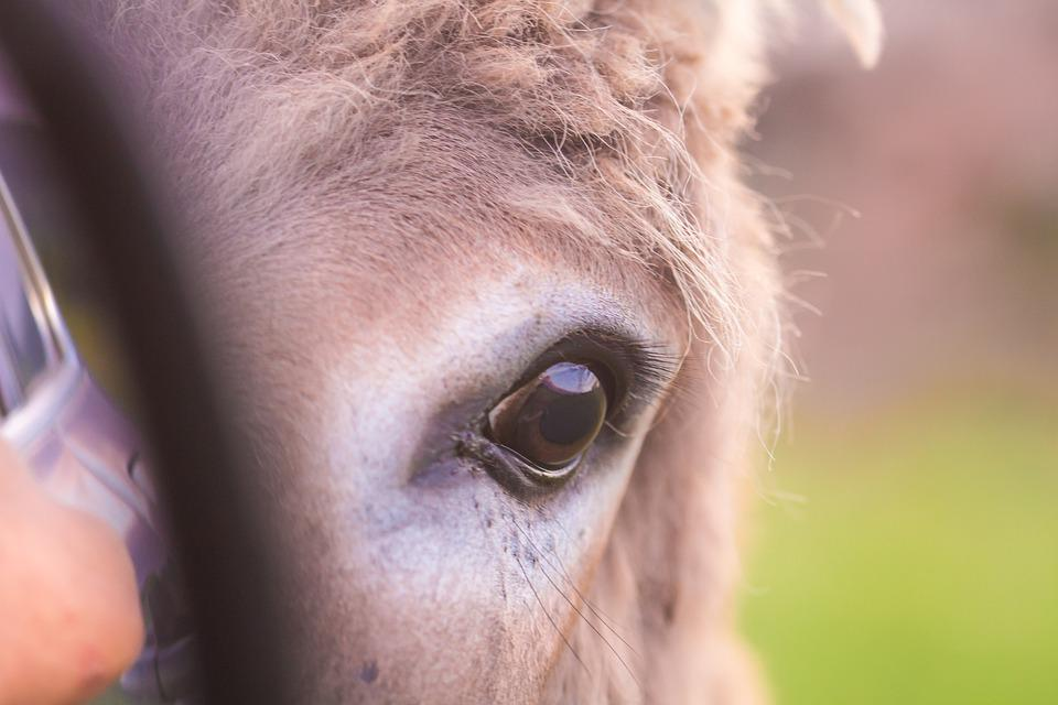 Donkey, Eye, Animal, Nature