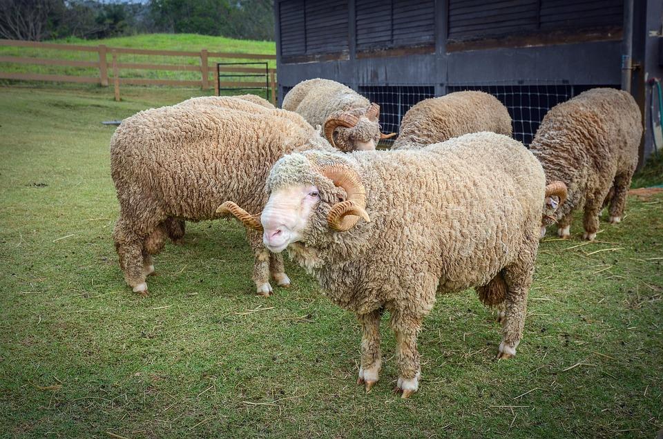 Farm, Animal, Sheep, Nature, Farming