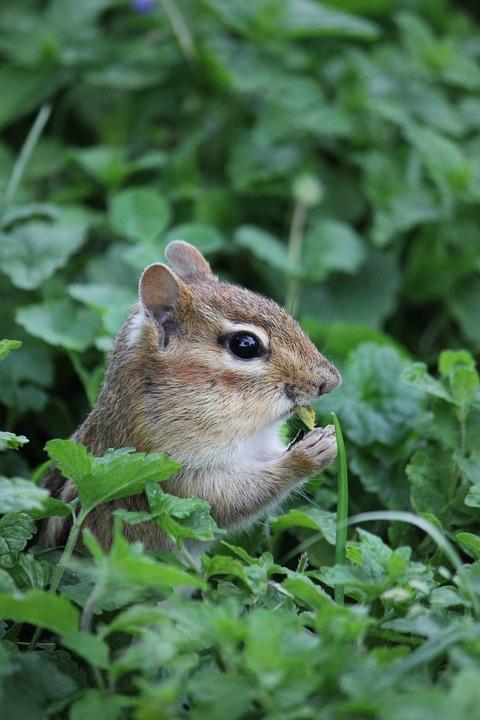 Chipmunk, Nature, Rodent, Animal, Grass