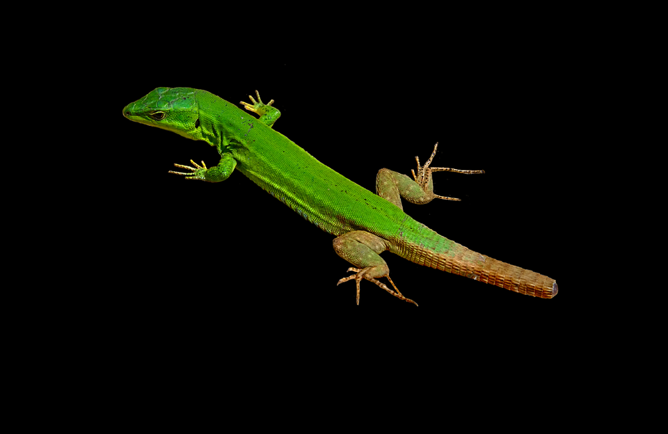 Lizard, Reptile, Animal, Creature, Nature, Scale