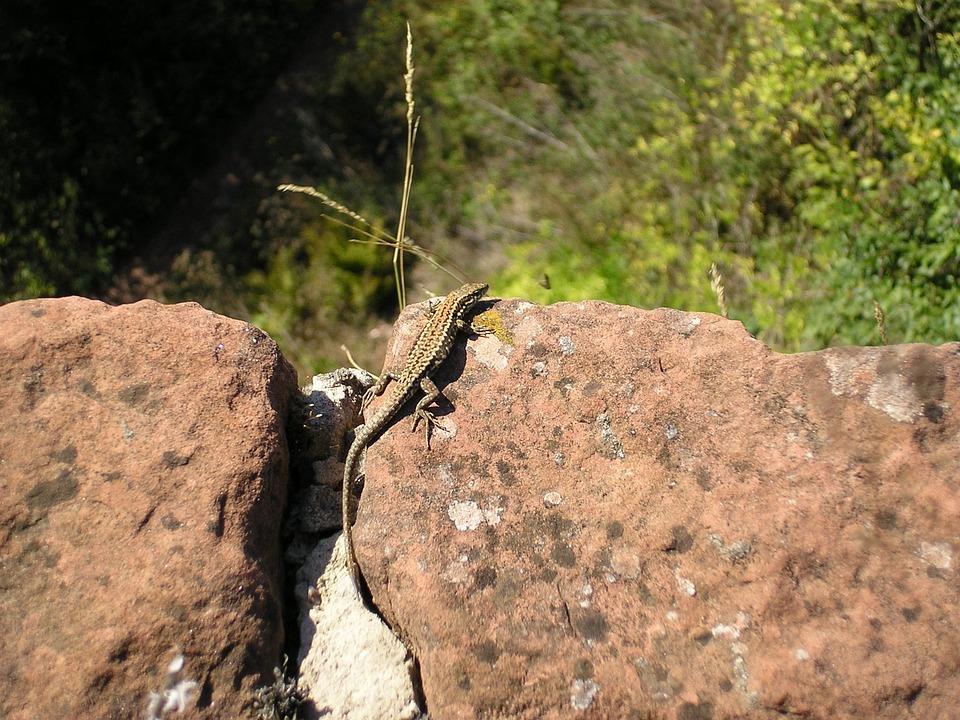 Lizard, Nature, Animal, Stone Walls