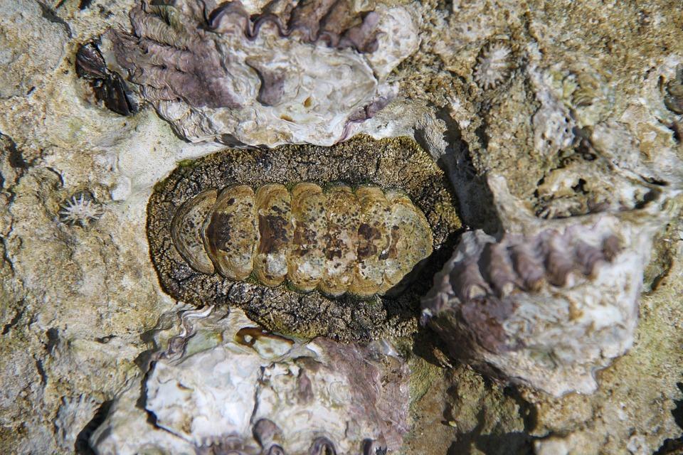 Chiton, Mollusk, Sea, Marine, Ocean, Nature, Animal