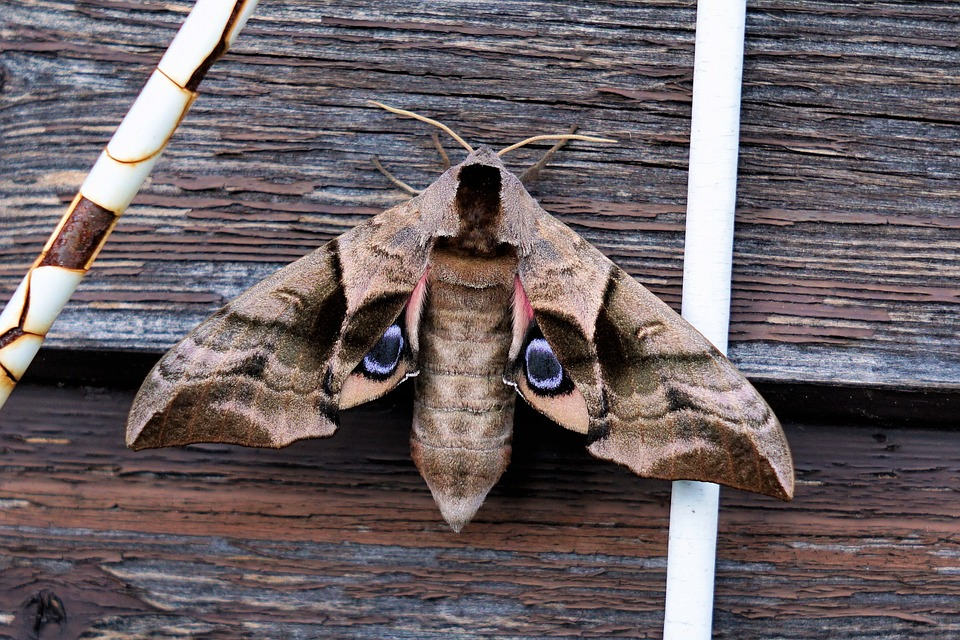 Moth, Insect, Animal, Nature, Wing, Flight Insect