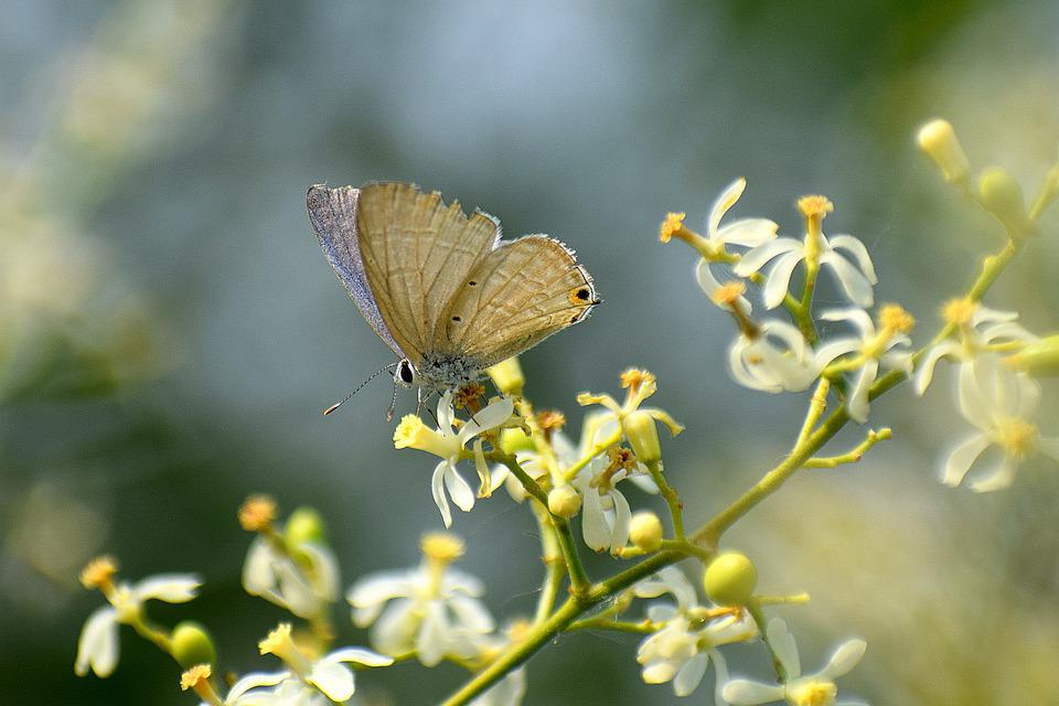 Butterfly, Flowers, Neem, Nature, Insect, Animal, Bloom