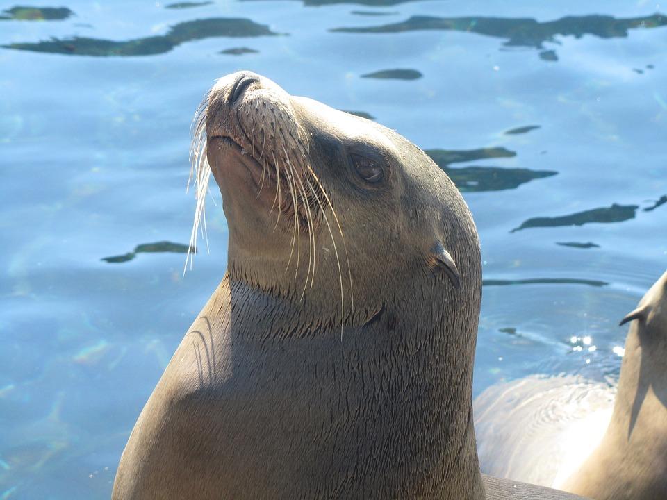 Seal, Water, Animal, Nature, Ocean, Wildlife, Marine