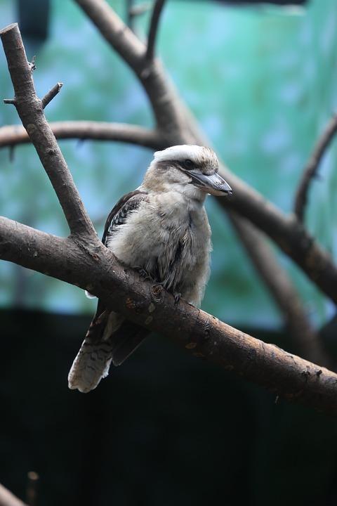 Bird, Nature, Wildlife, Animal, Outdoors, Kookaburra