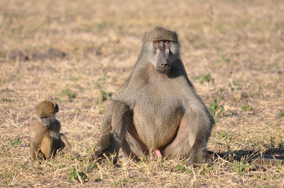 Wildlife, Monkey, Primate, Mammal, Animal, Nature