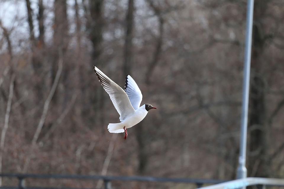 Bird, Seagull, Fly, Animal, Nature, Flight, In Flight