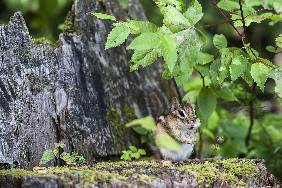 Chipmunk, Nature, Animal, Wildlife, Rodent, Cute, Small