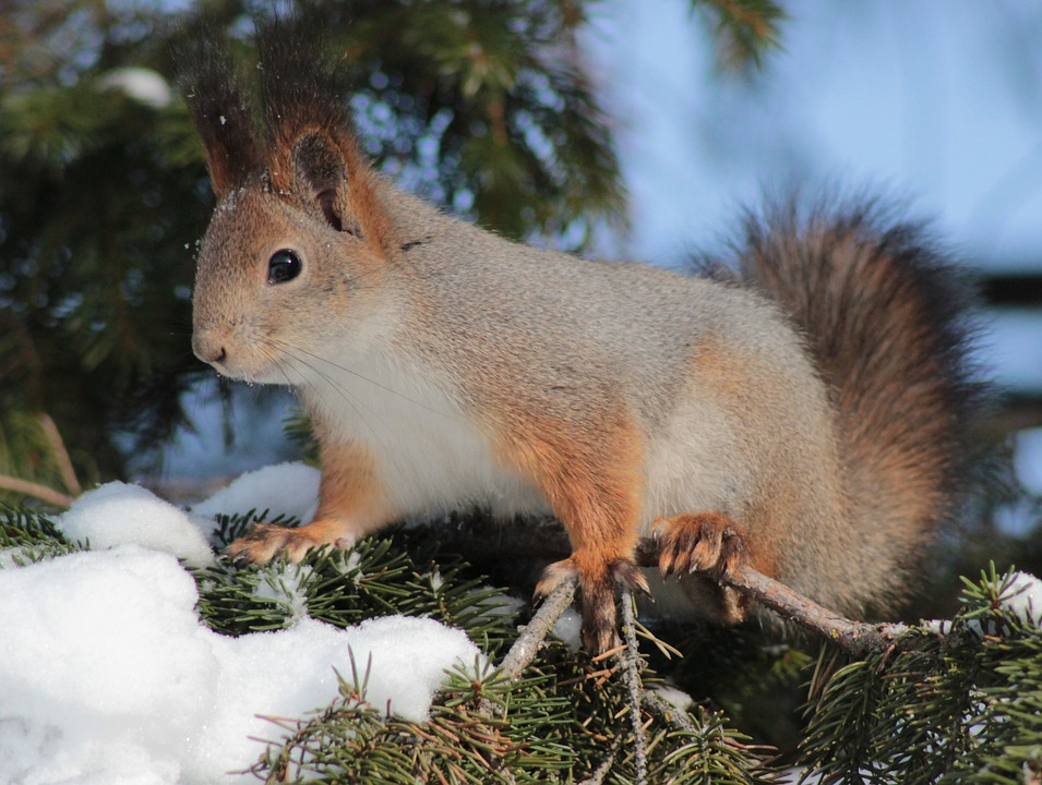 Squirrel, Red, Cute, Animal, Wildlife, Nature, Outside