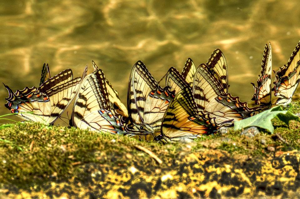 Nature, Outdoors, Animal, Swallowtail, Butterflies