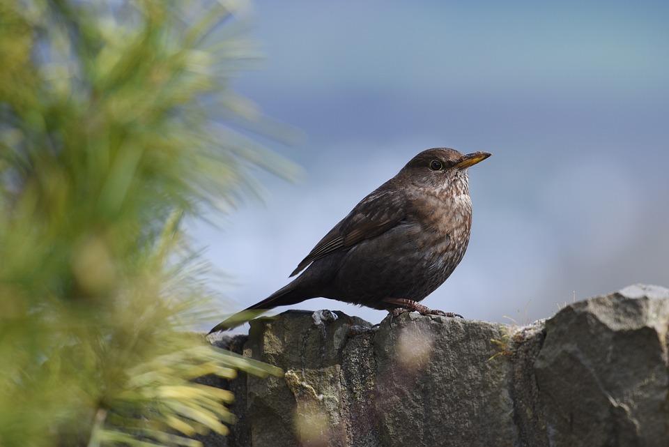 Birds, Throttle, Feather, Nature, Animal, Plumage