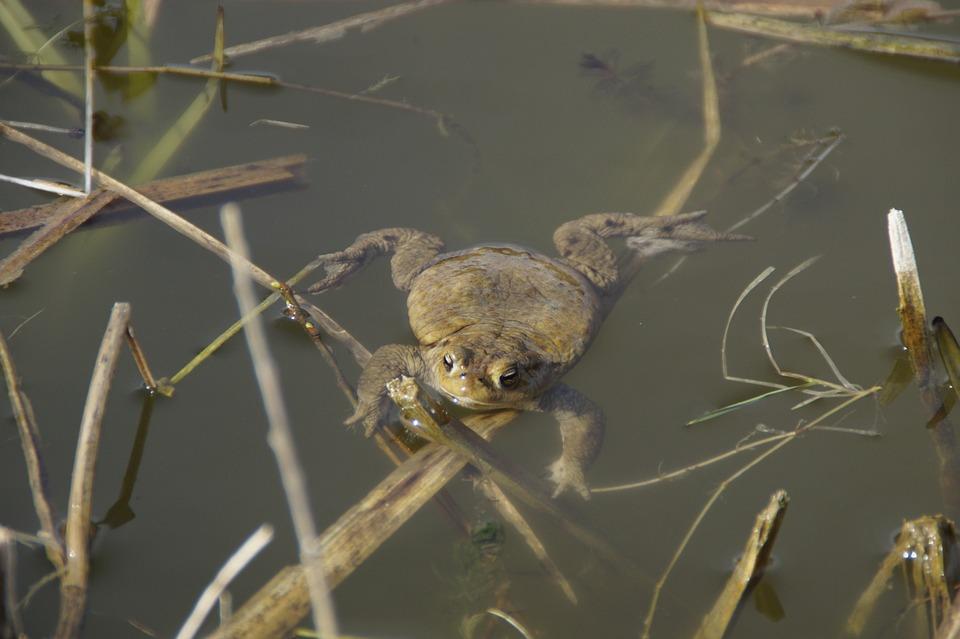 Nature, Animal World, Animal, Toad, Swim, Water, Waters