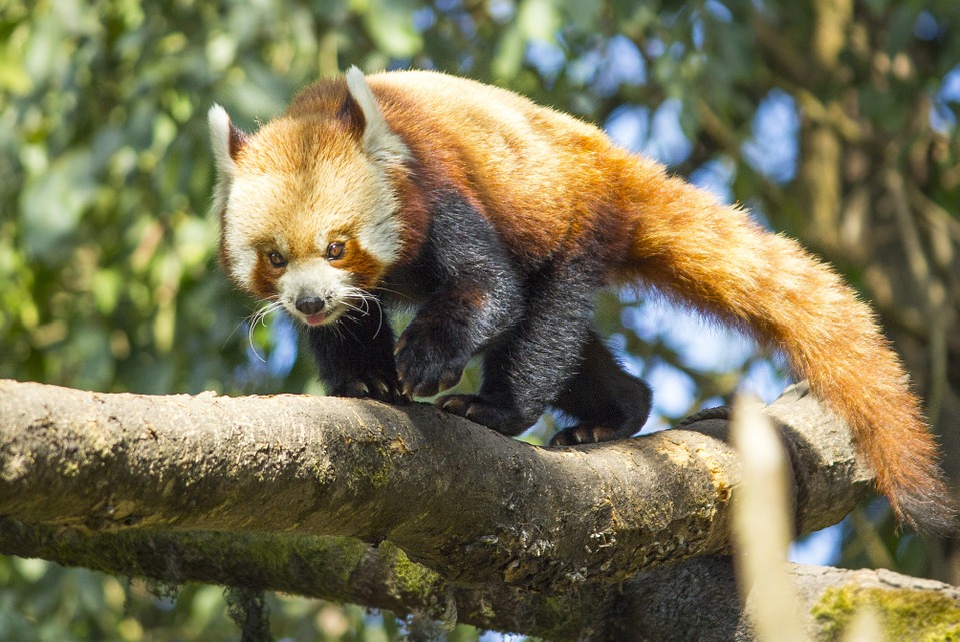 Red Panda, Wild, Nature, Animal