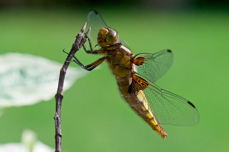 Insect, Nature, Dragonfly, Animal, Wildlife