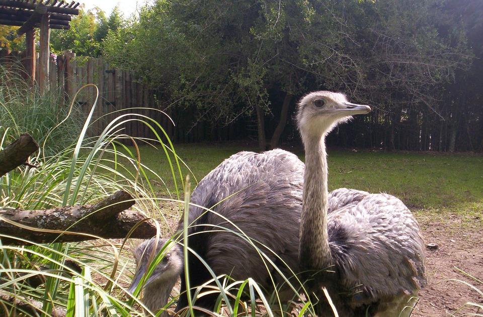 Ostrich, Animal, Nature, Animals, Pen, Birds, Zoo