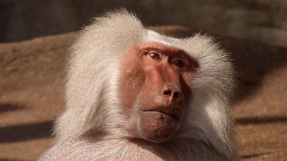 Baboon, Monkey, Animal, Nature, Zoo