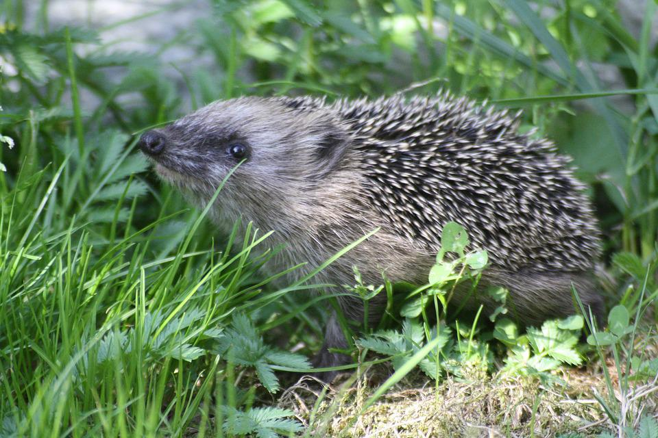 Nature, Hedgehog, Animal, Mammal, Needles, Look