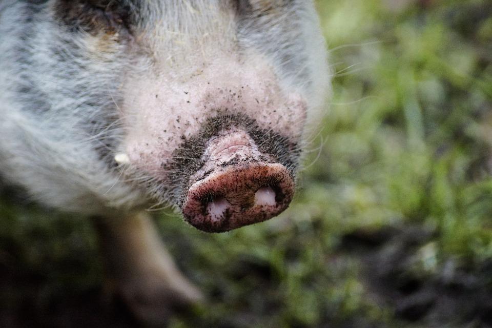 Pig, Nose, Pink, Hog, Agriculture, Proboscis, Animal