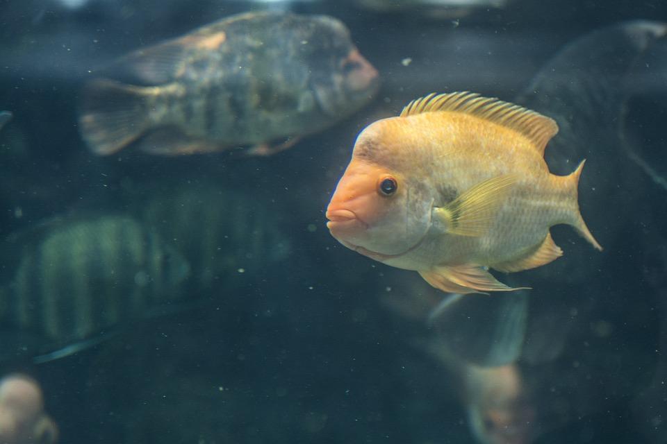 Fish, Aquarium, Marine, Underwater, Animal, Ocean