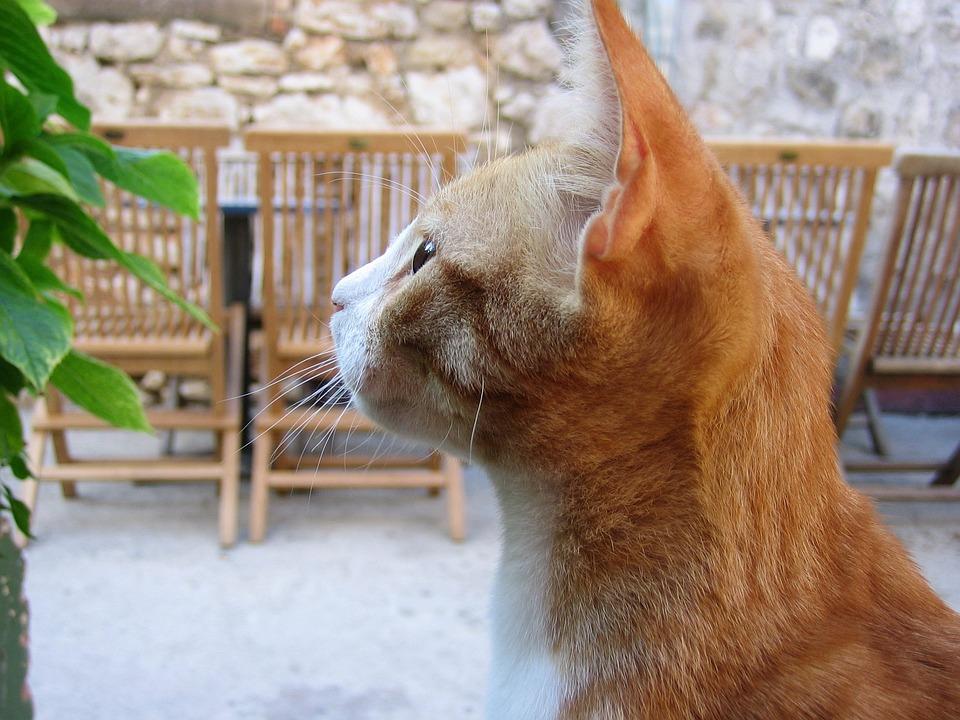Cat, Pet, Animal, Orange