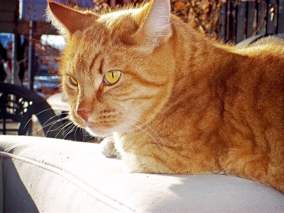 Tabby, Cat, Orange, Animal, Feline, Domestic, Pet, Fur