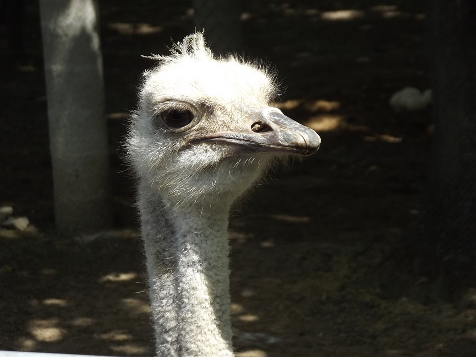 Ostrich, Animal, Zoo
