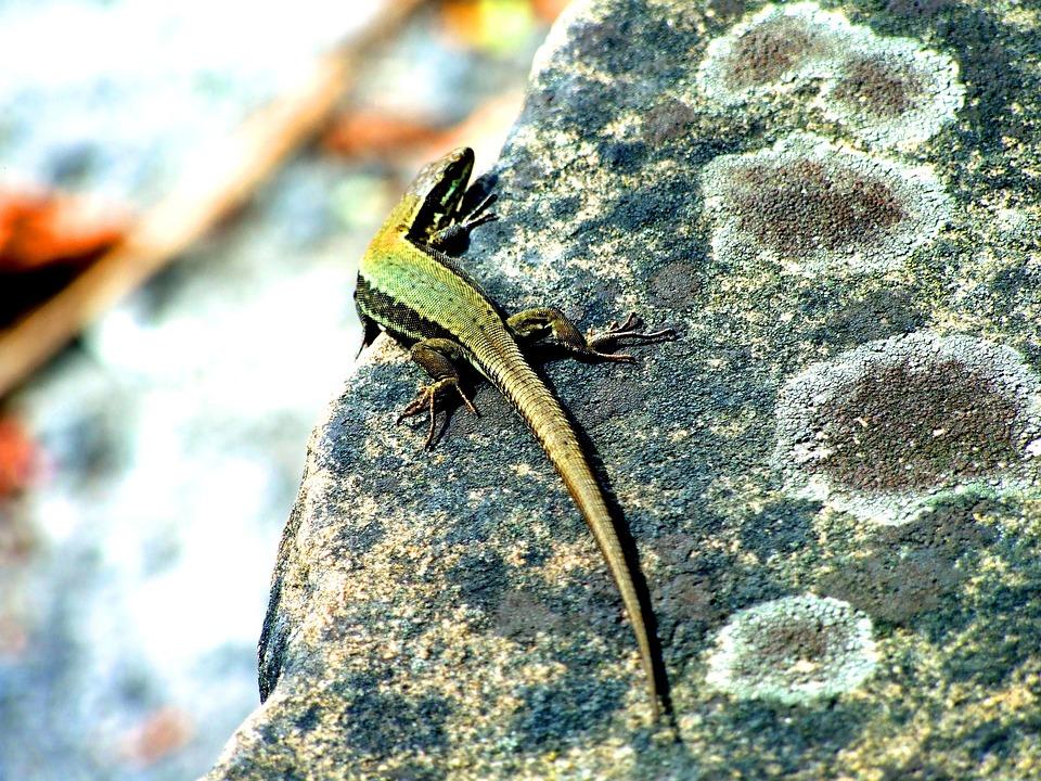 Nature, Outdoors, Reptile, Lizard, Animal, Rock