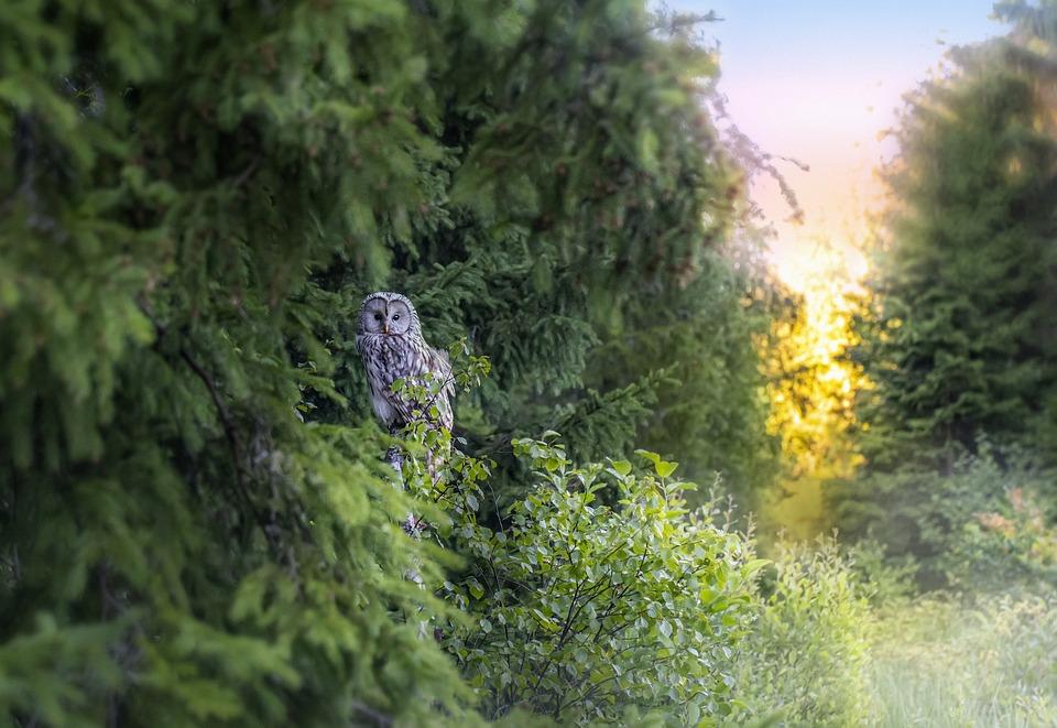 Ural Owl, Owl, Perched, Animal, Bird, Wildlife
