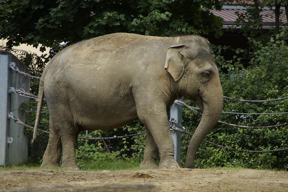 Elephant, Indian Elephant, Animal, Pachyderm, Side, Zoo
