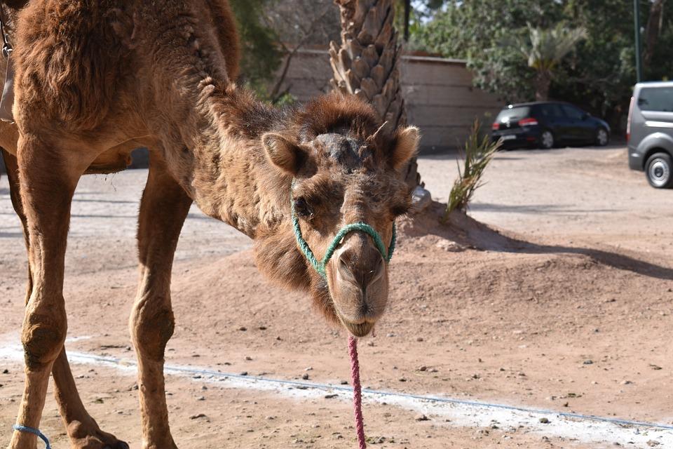 Morocco, Camel, Animal, Desert, Palm Grove
