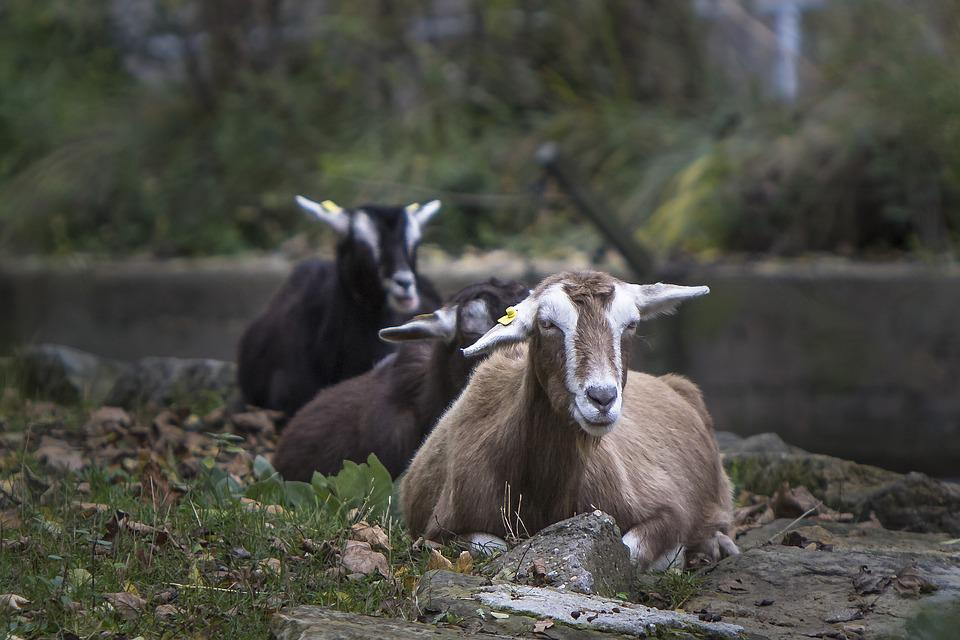 Berlin, Animal Park Berlin, Prima Donna, Goat