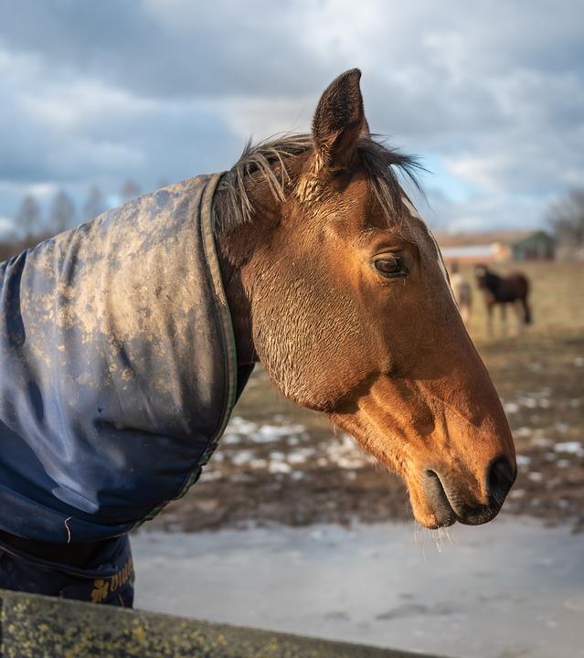 Paddock, Horse Head, Horse, Pasture, Animal, Brown