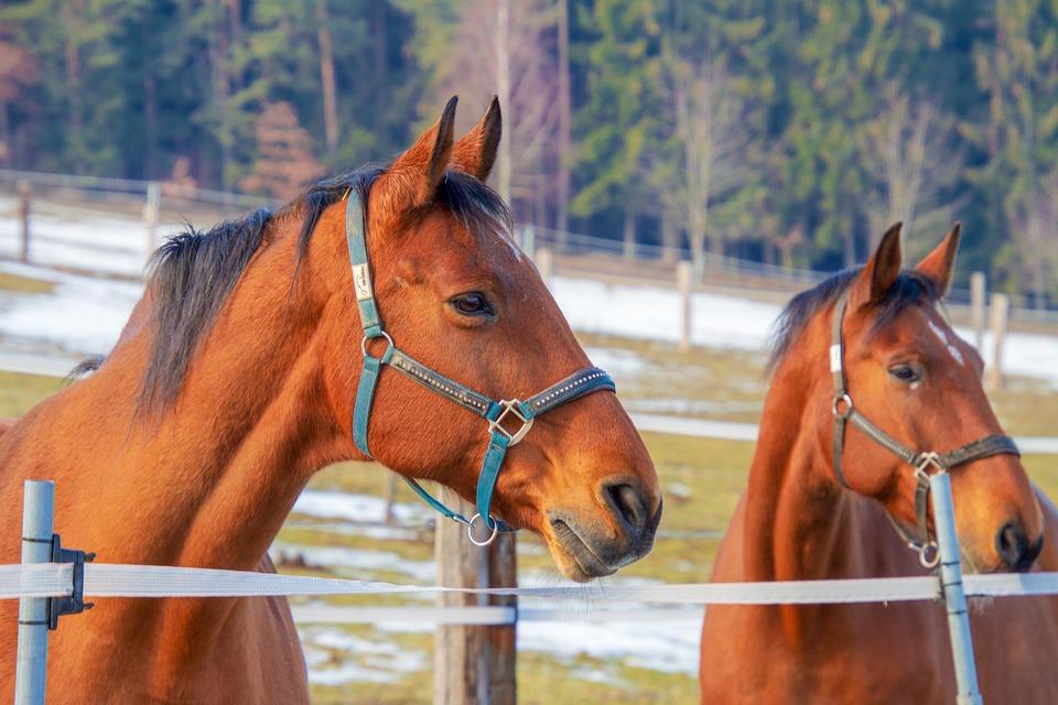 Horses, Brown, Animal, Animal World, Pasture, Paddock