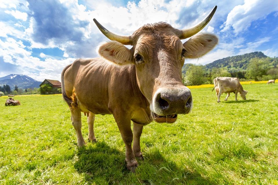 Cow, Pasture, Animal, Almabtrieb, Tradition, Viehscheid