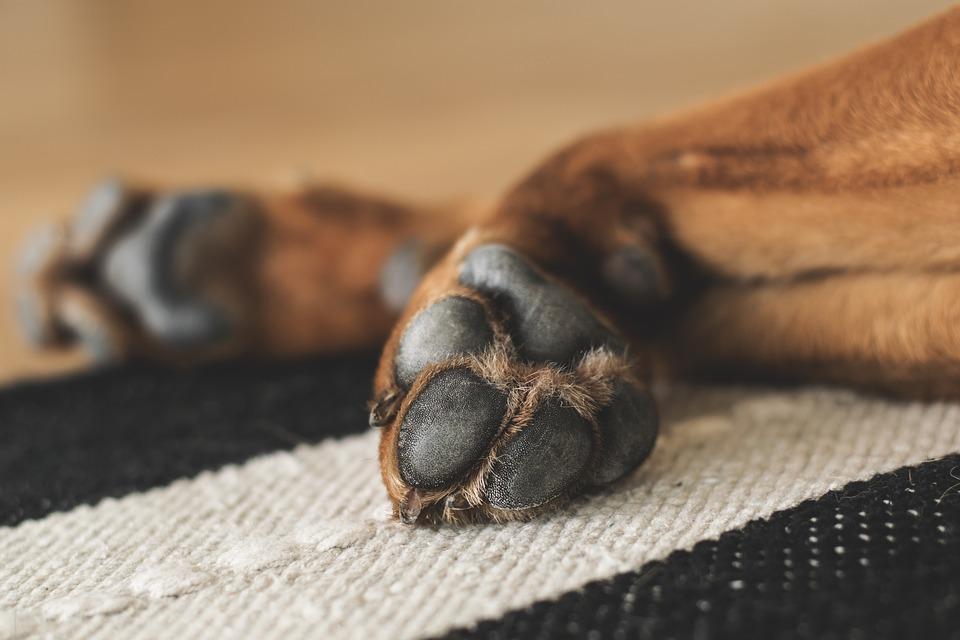 Paws, Dog, Pet, Dog Paws, Animal Paws, Close Up, Tired