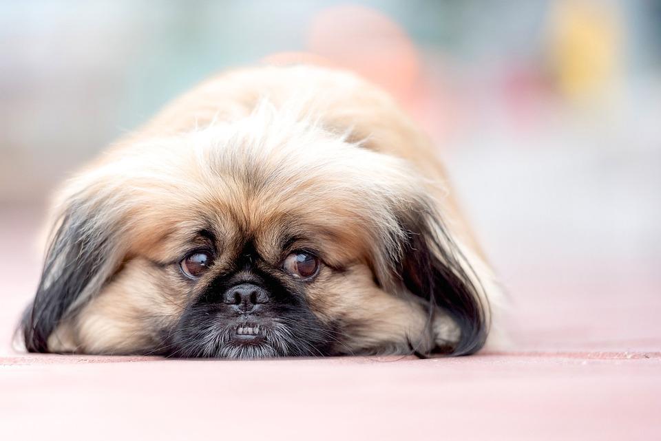 Pekinese, Dog, Bokeh, Animal, Small, Pet, Cute