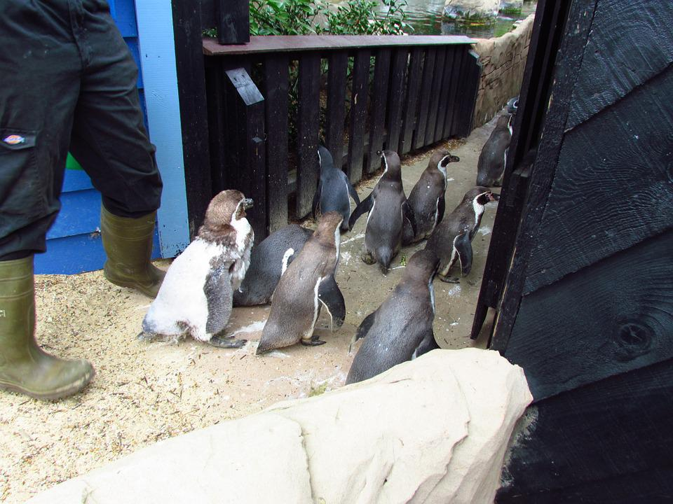 Penguin, Penguins, Waddle, Walk, Bird, Animal, Wildlife