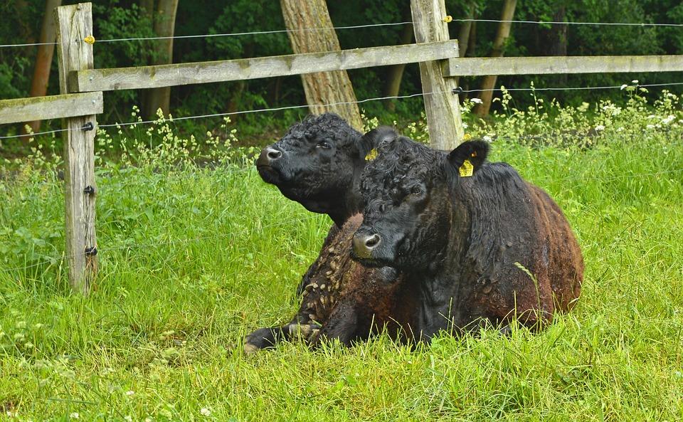 Beef, Bull, Animal, Animal Portrait, Pet, Livestock