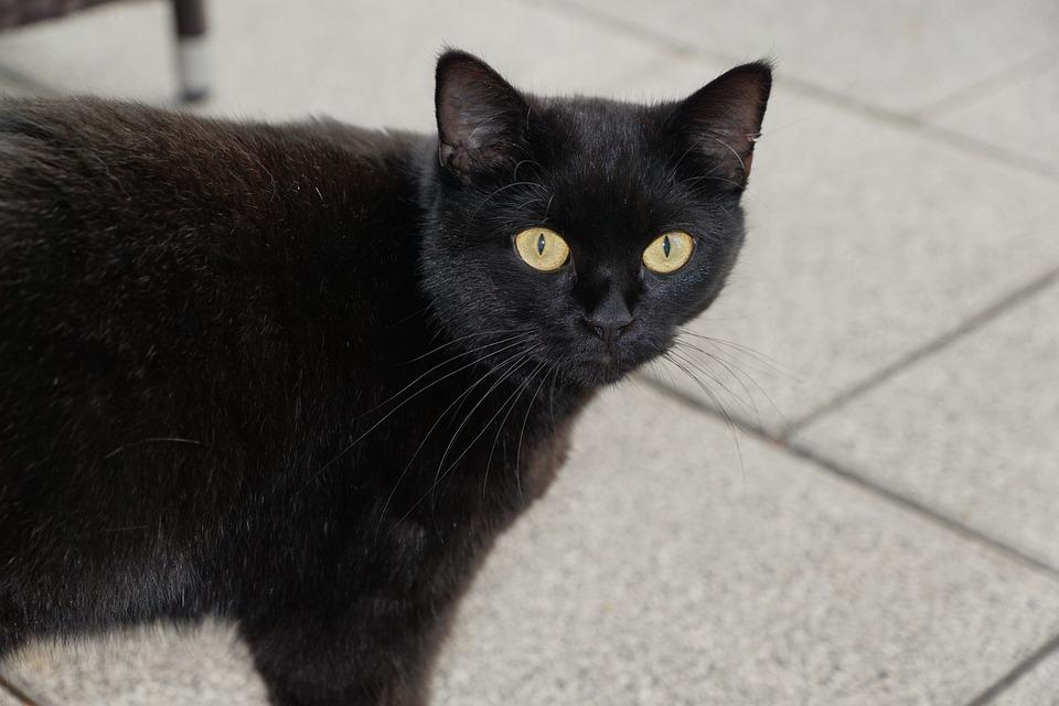 Cat, Black, Animal, Pet, Mieze, Kitten, Hallowin
