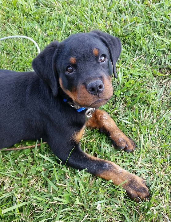 Rottweiler, Puppy, Dog, Pet, Animal, Baby, Cute, Canine