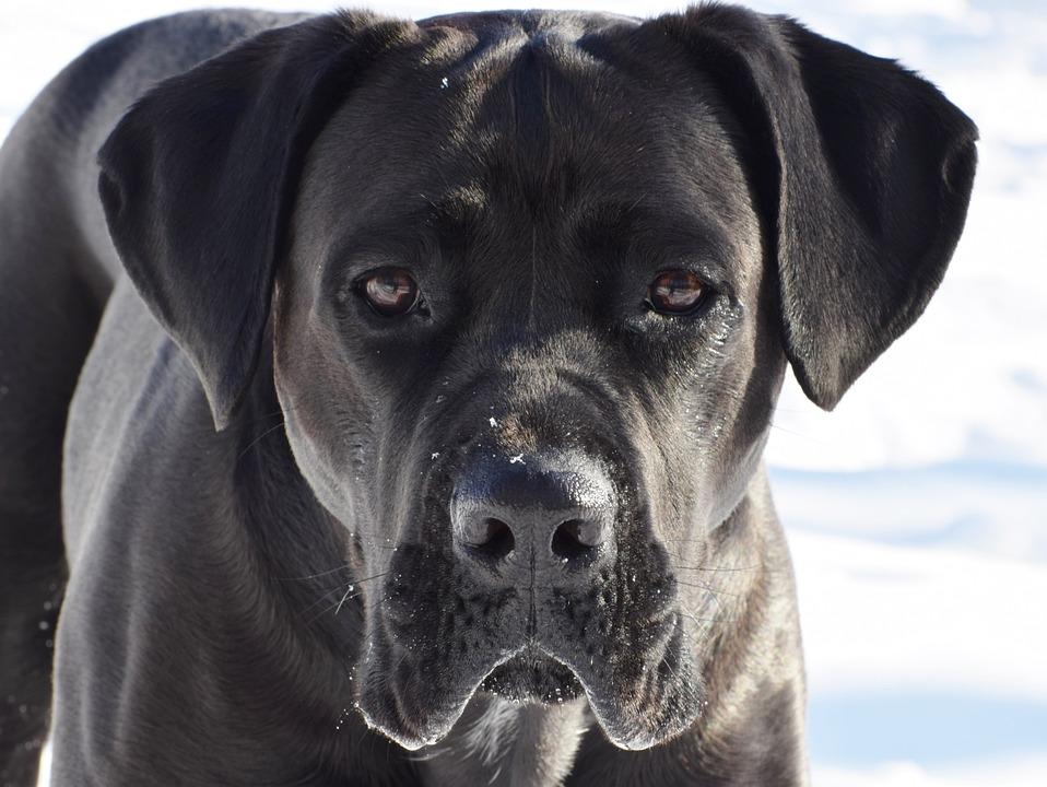 Cane Corso, Dog, Puppy, Pet, Animal, Cute, Mastiff