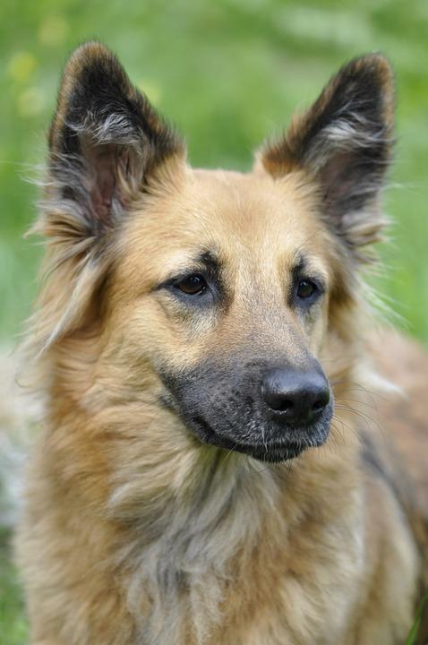 Dog, Animal, Portrait, Head, Pet