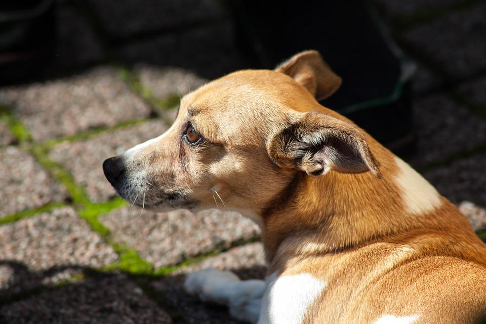 Pet, Dog, Dogs, Animal, Doggy, Animals, Jack Russell