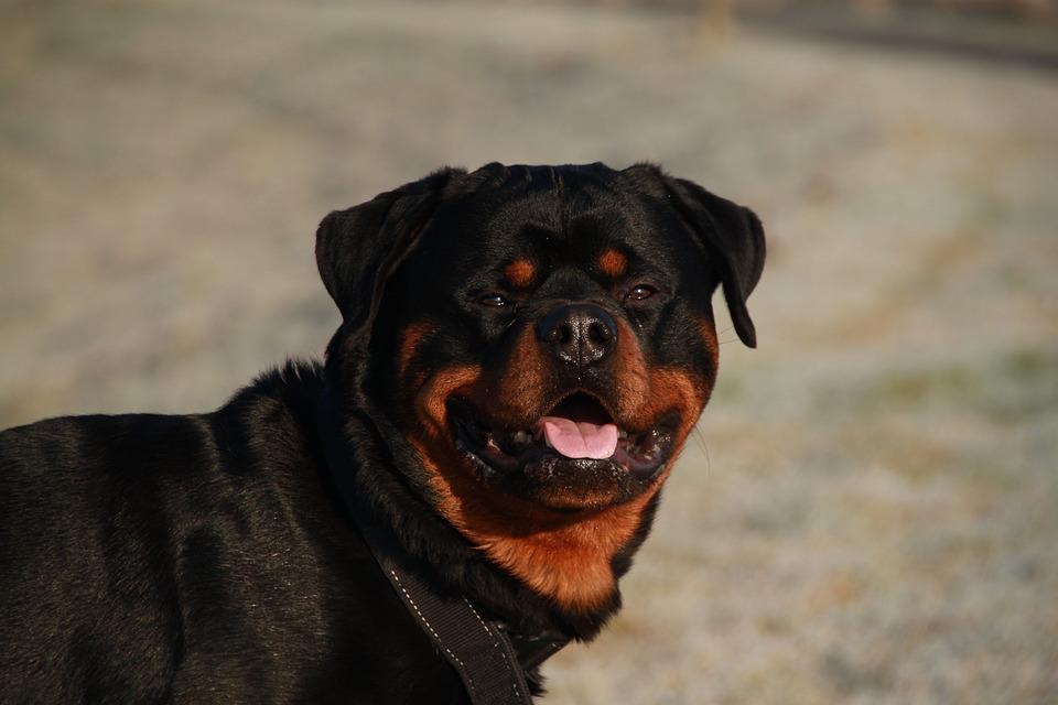 Dog, Rottweiler, Animals, Pet, Animal, Sweet, Dogs