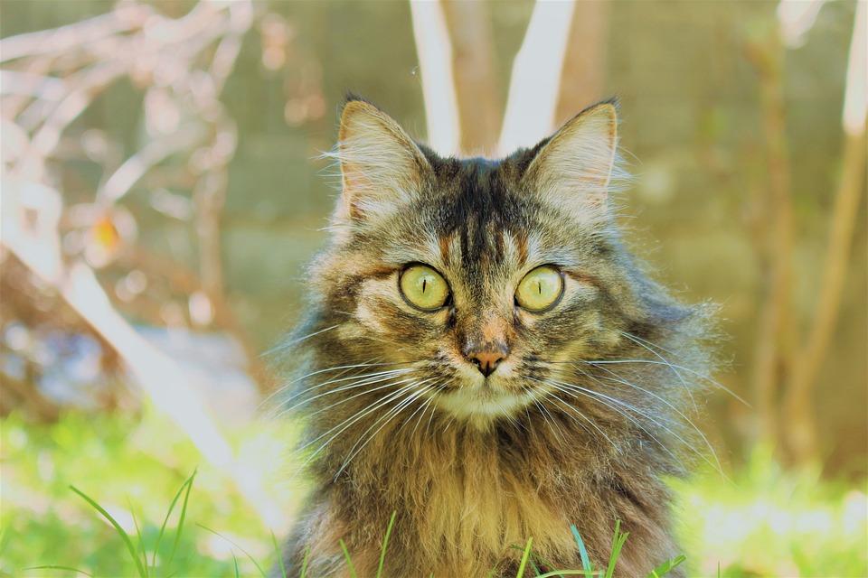 Cat, Animal, Pet, Fur, Domestic, Kitten, Feline