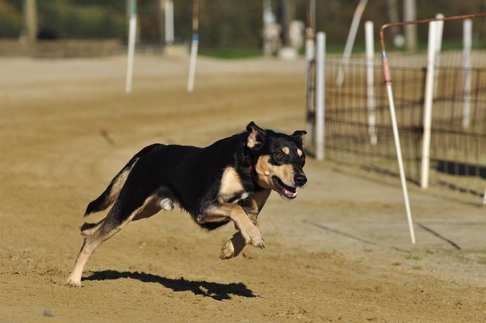 Pet, Dog, Racecourse, Greyhounds, Animal, Greyhound