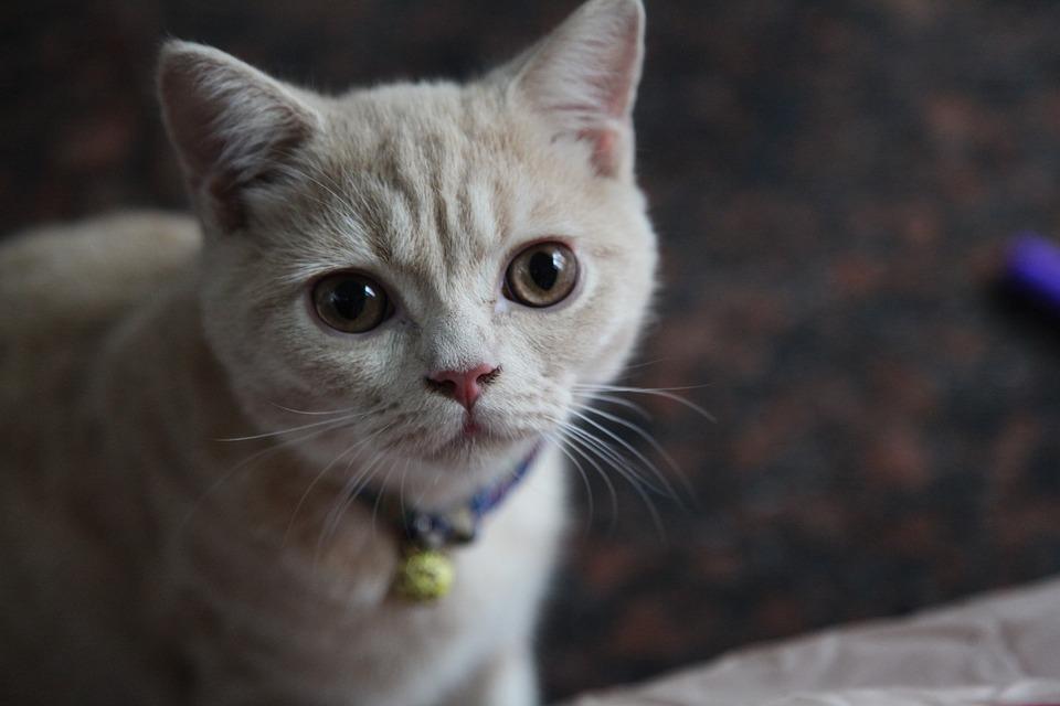 Kitten, Face, Cute, Animal, Pet, Cat, Kitty, Sweet