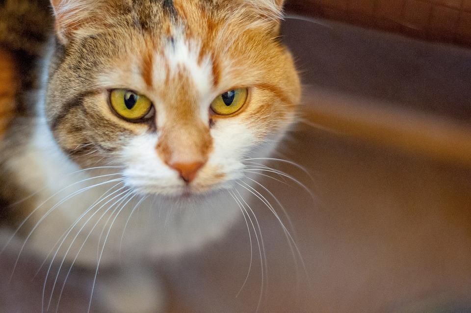 Cat, Portrait, Animal, Pet, Fur, Feline, Eyes, Face