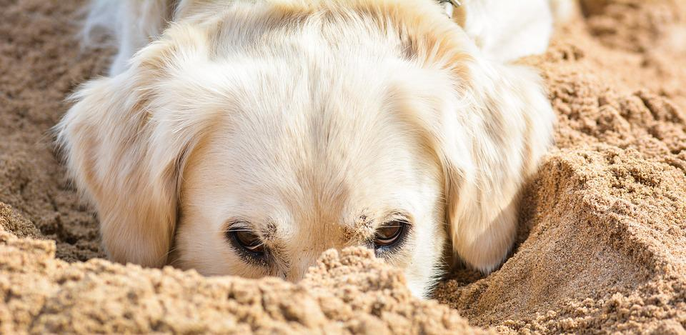Dog, Pet, Golden Retriever, Animal, Race, Snout, Action